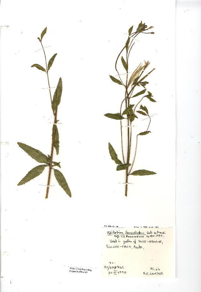 Image of <i>Epilobium lanceolatum</i> Sebastiani & Mauri