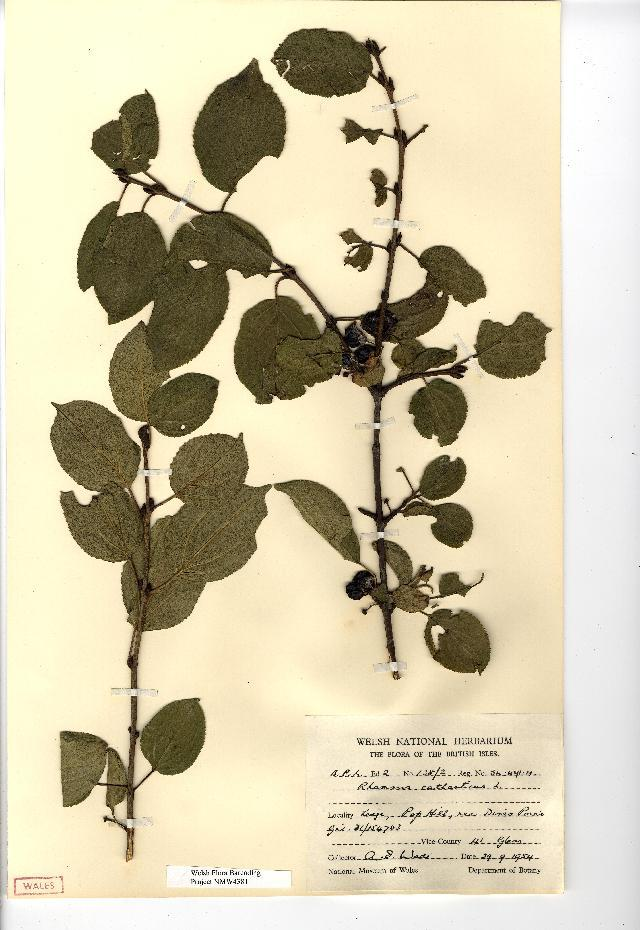 Image of common buckthorn