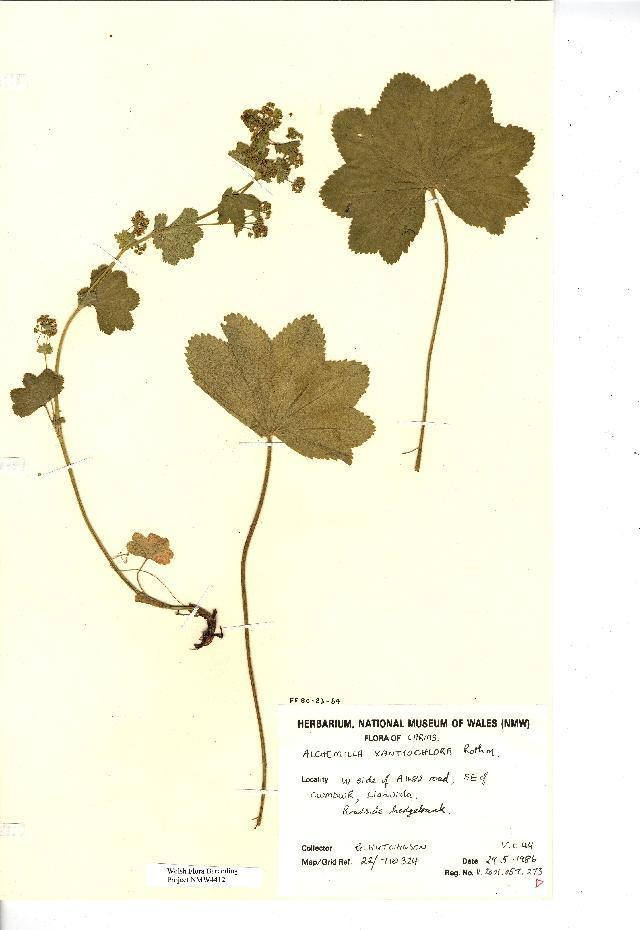 Image of <i>Alchemilla xanthochlora</i> Rothm.
