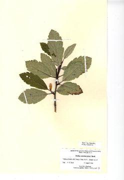 Image of <i>Sorbus minima</i> (Ley) Hedl.