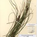 Image of beaked sedge