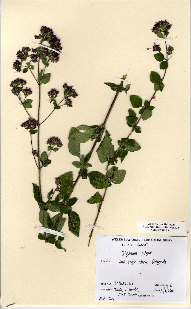 Image of oregano