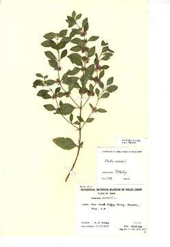 Image of wild mint