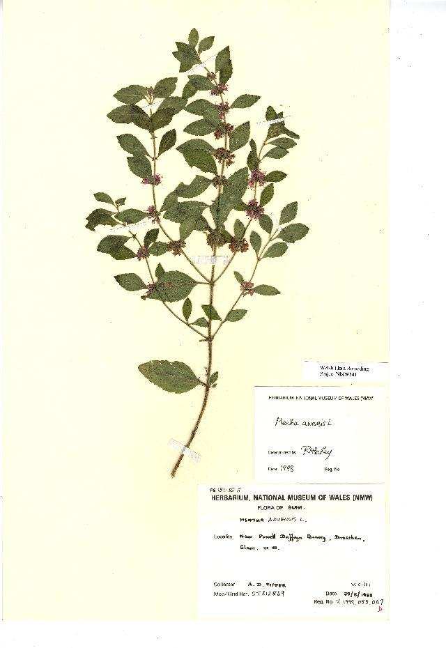 Image of wild mint