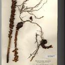Image of ivy broomrape