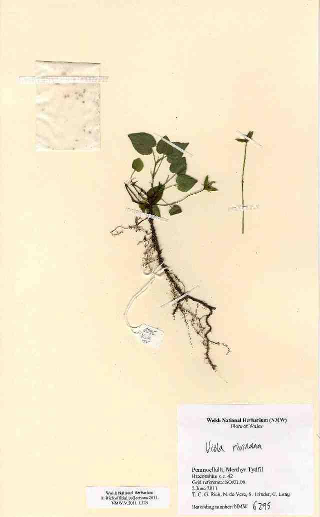 Image of <i>Viola riviniana</i> Rchb.