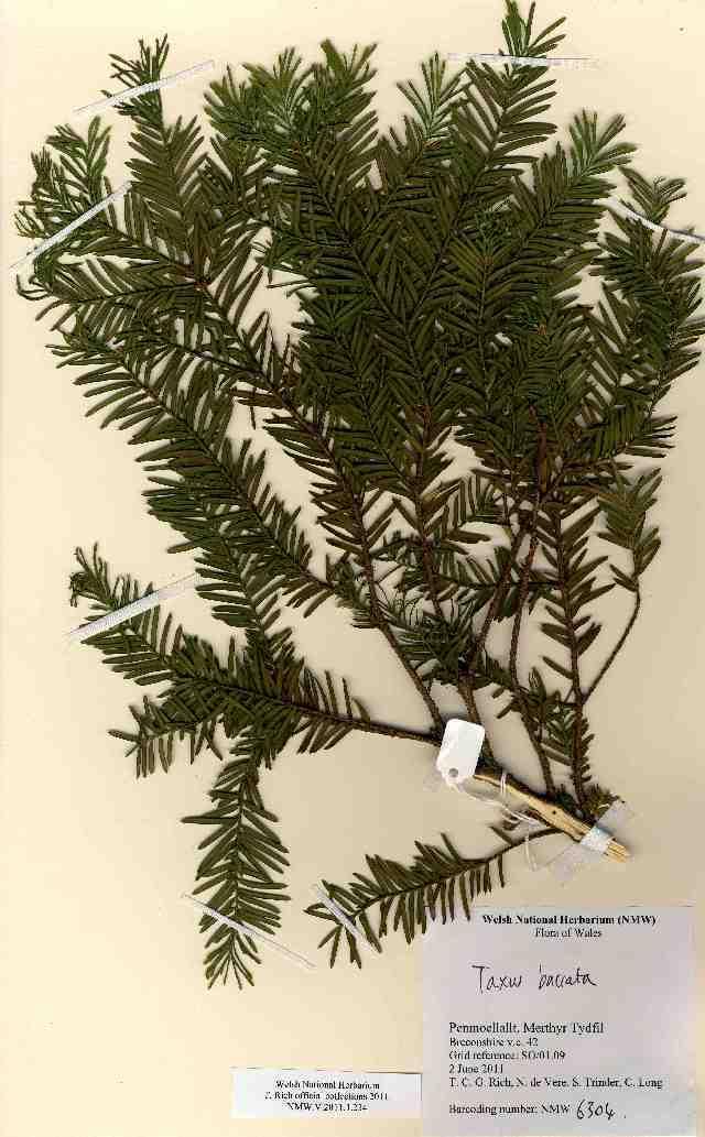 Image of English yew