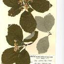 Image of <i>Sorbus whiteana</i> T. C. G. Rich & L. Houston
