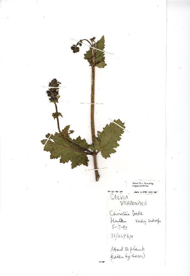 Image of verbena sage