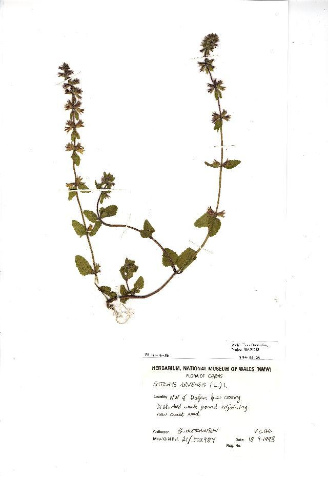 Image of staggerweed