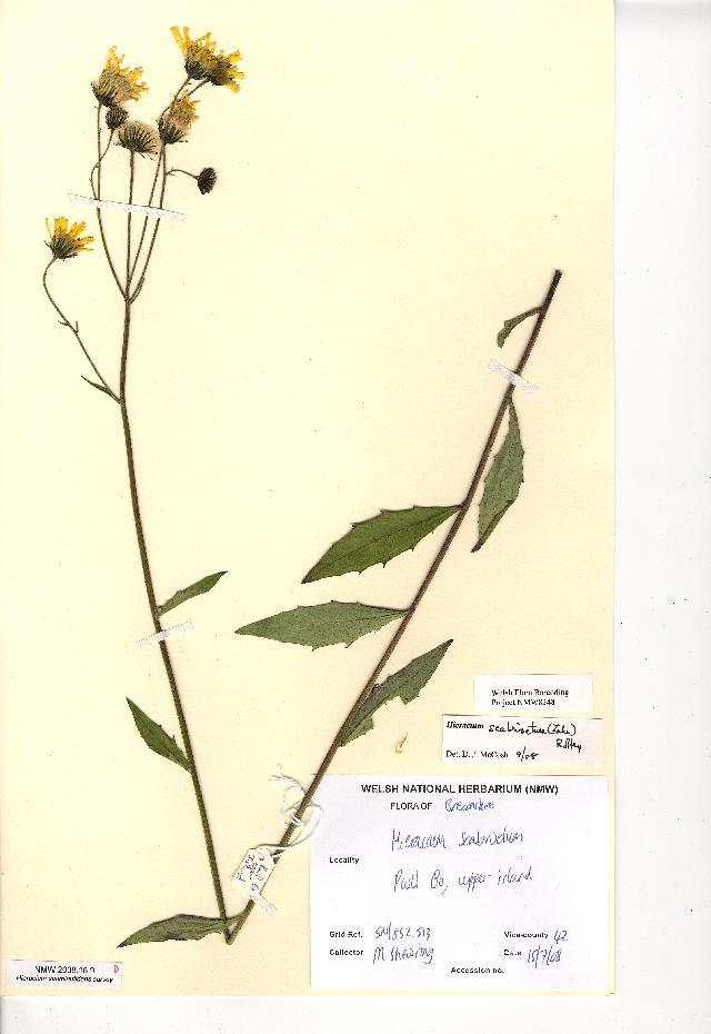 Image of <i>Hieracium scabrisetum</i> (Zahn) Roffey