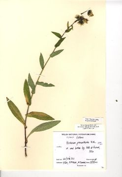 Image of <i>Hieracium prenanthoides</i> L.