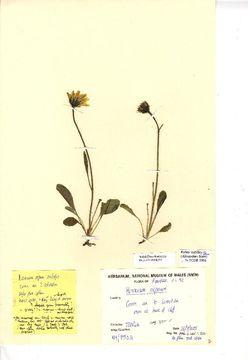 Image of alpine hawkweed