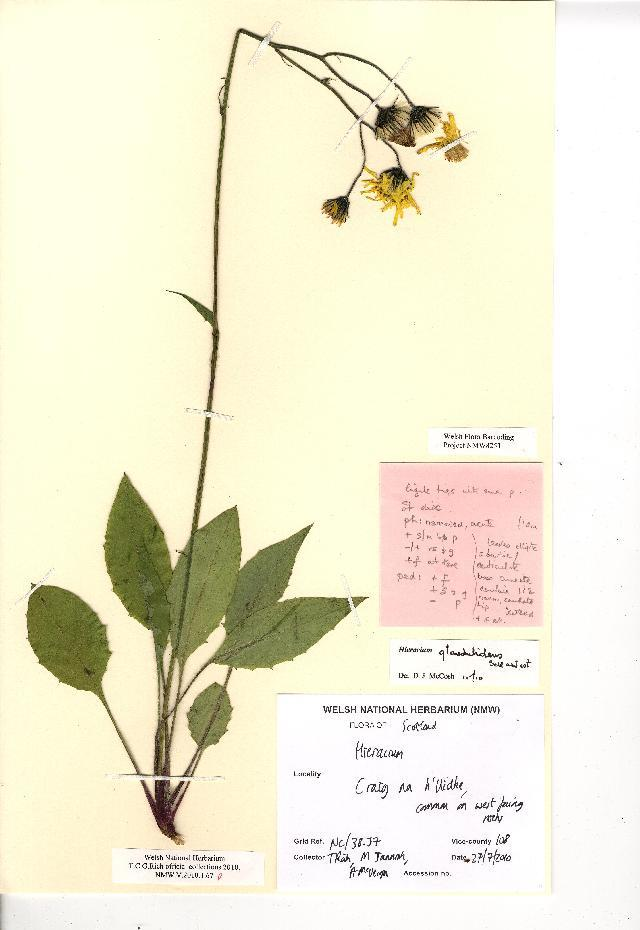 Image of <i>Hieracium glandulidens</i> Sell & C. West