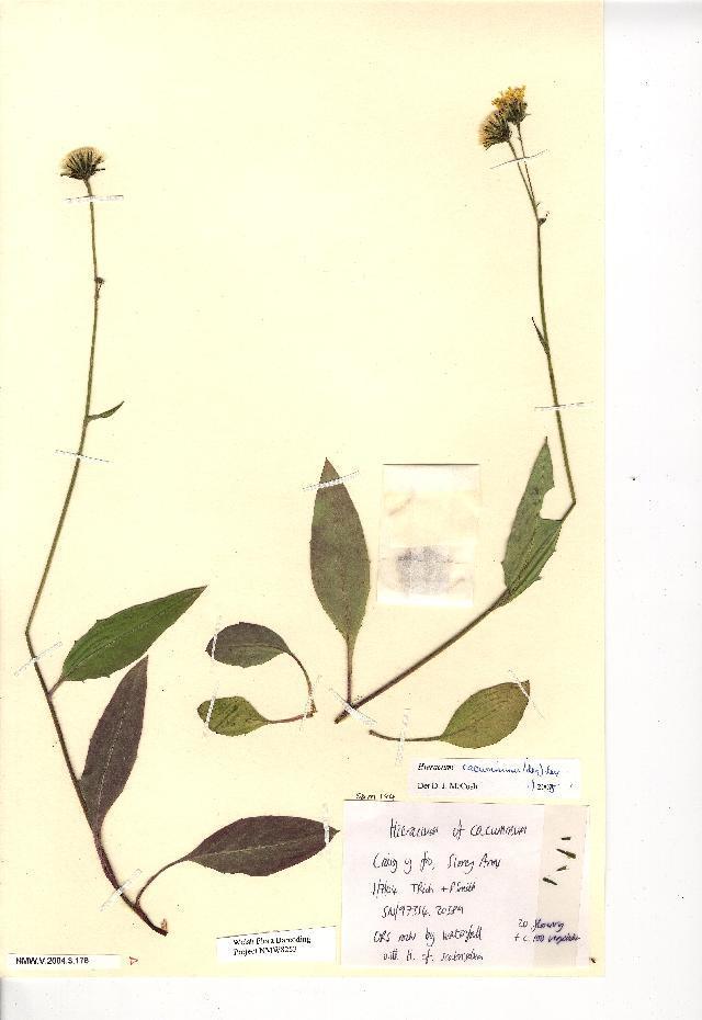 Image of <i>Hieracium cacuminum</i> (A. Ley) A. Ley