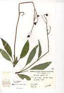 Image of <i>Hieracium argenteum</i> R. E. Fr.