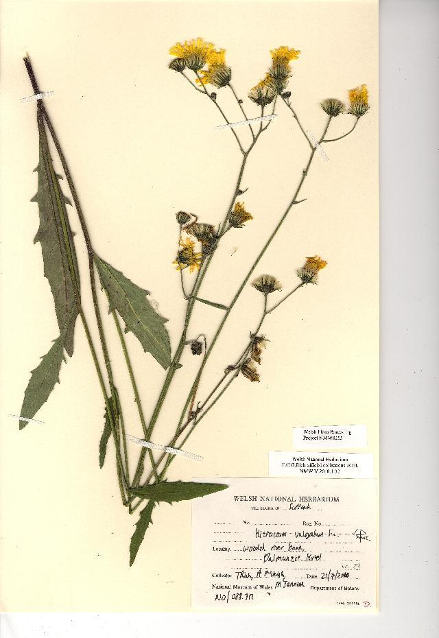 Image of common hawkweed