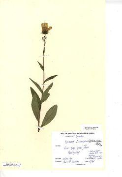 Image of <i>Hieracium subcrocatum</i> (E. F. Linton) Roffey