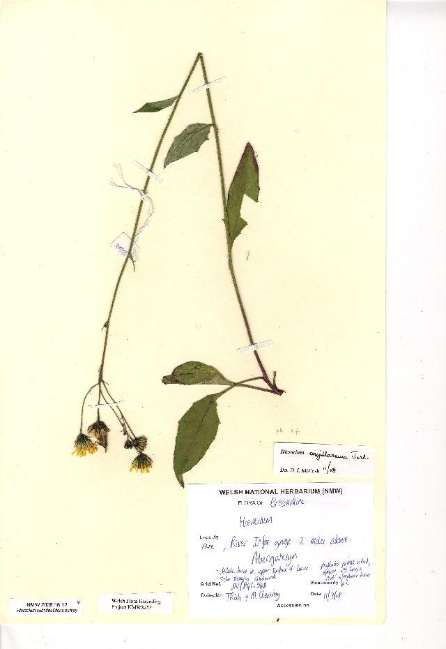 Image of <i>Hieracium argillaceum</i>
