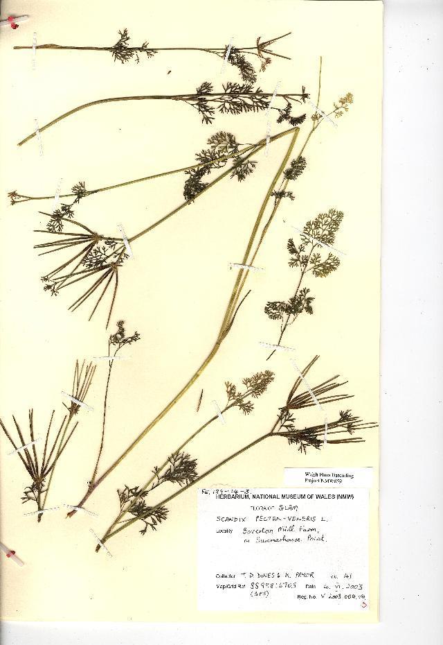 Image of Shepherd's Needle