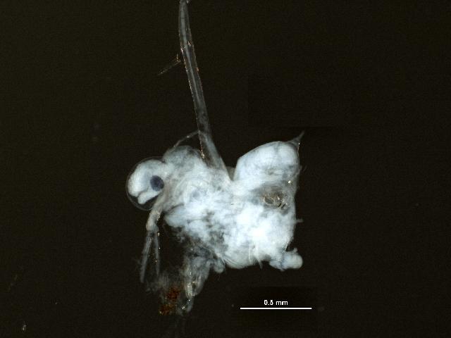 Image of Cercopagididae