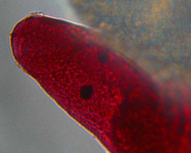 Image of Stephanostomum