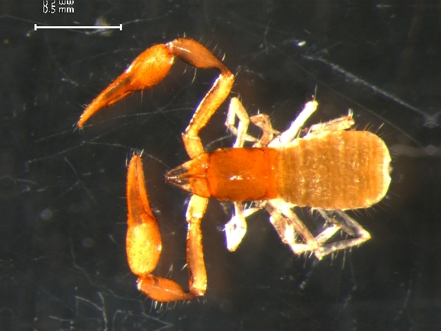 Image of Parahyidae