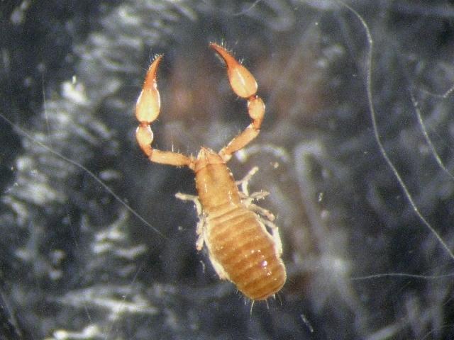 Image of Microbisium