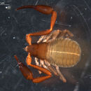 Image of House Pseudoscorpion