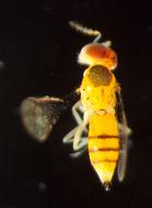 Image of Chrysonotomyia