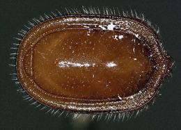 Image of Macrodinychidae