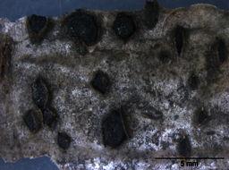 Image of Botryosphaeria
