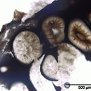 Image of Diatrype