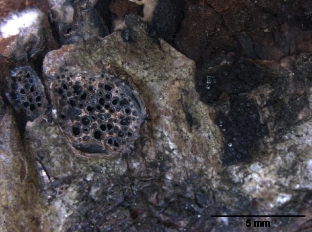 Image of Eutypella