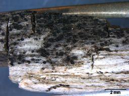 Image of Melanommataceae