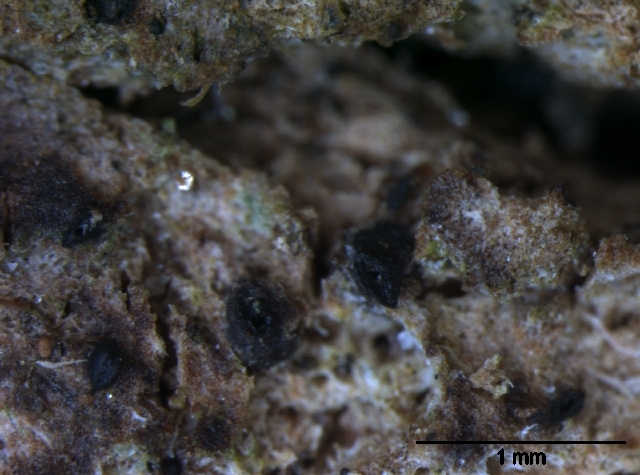 Image of Lophiostoma