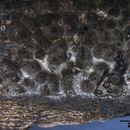 Image of Nemania