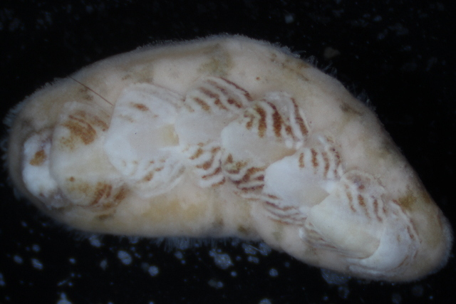 Image of glass-hair chiton