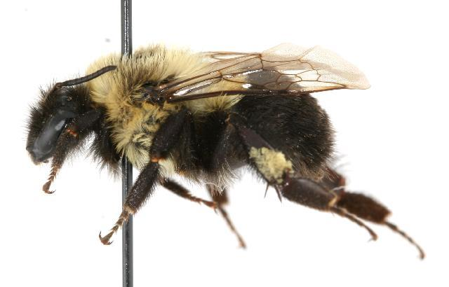 Image of Common Eastern Bumblebee
