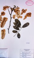 Image of piscidia