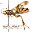 Image of Ibaliinae