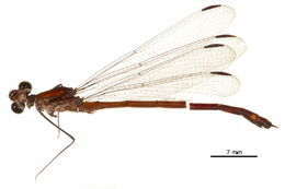 Image of Dicteriadidae