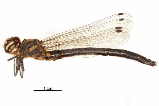Image of Epiophlebiidae