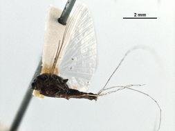Image of Tricorythidae