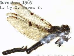Image of Neopetaliidae