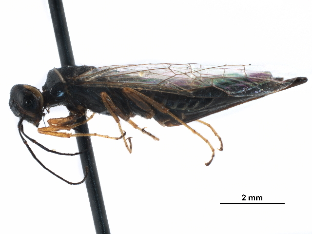 Image of incense cedar wood wasps