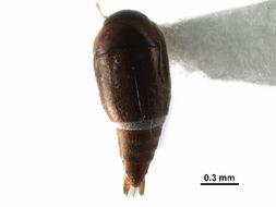 Image of Hydroscapha