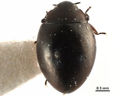 Image of Torridincolidae