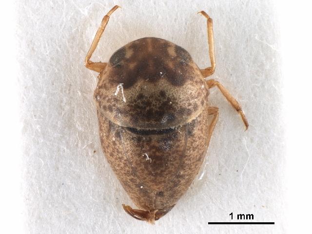 Image of Helotrephidae