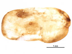 Image of aclerdid scales